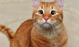 Косоокий кіт джарвіс
