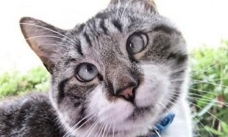 Косоокий кіт спенгл (spangle) став зіркою інтернету
