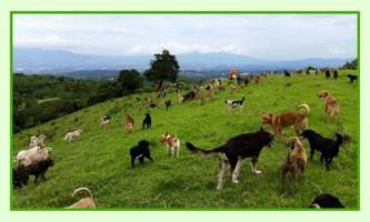 Коста ріка - територія міксовий порід собак, і рай для любителів чотирилапих
