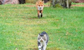 Кот і лисиця