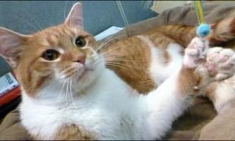 Кот-талісман з 26-ю пальцями на лапах допомагає центроспаса тварин