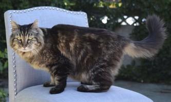 Кота вельвету з сша визнали найстарішим на планеті