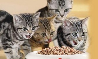 Кошеня вже починає їсти сам - як і чим його годувати