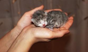 Все про те, як вигодувати кошеня без кішки - догляд, харчування і виховання