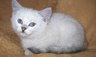 Кошенята колор-пойнт (з блакитними очима)
