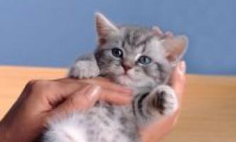 Кошенята забарвлення віскас (британські та шотландські)