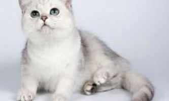 Кошенята шиншили (срібляста, висловуха, золота)