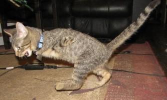 Кошеня без передніх кінцівок навчився обходитися без їхньої допомоги