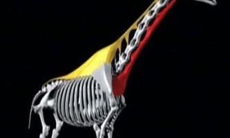 Жираф - дивовижне `` винахід `` природи