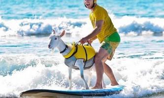 Коза гоат - велика любителька серфінгу