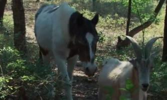 Козел 16 років піклувався про сліпий коні
