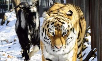 Козел тимур і тигр амур - герої реаліті-шоу?