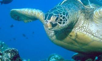 Шкіряста черепаха (dermochelys coriacea)