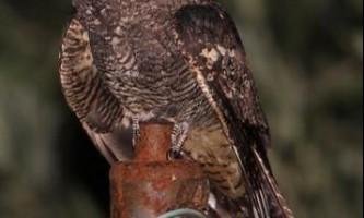 Козодой (caprimulgus europaeus) або опівнічник