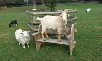 Кози можуть відібрати у собак звання кращого друга людини