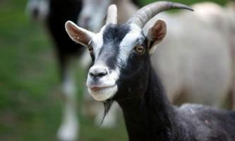 Кози виявилися набагато розумнішими, ніж прийнято вважати