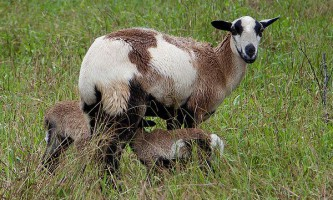 Кози дізнаються голоси своїх дитинчат