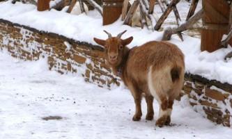 Кози взимку: зміст і годування