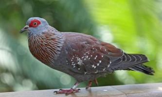 Крапчастий голуб - африканський пернатий «посильний»
