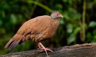 Червона шпорцевая куріпка: все про життя непомітною птиці