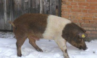 Червоно поясна порода свиней