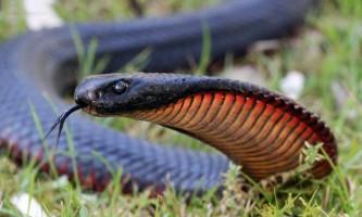 Краснобрюхая чорна змія