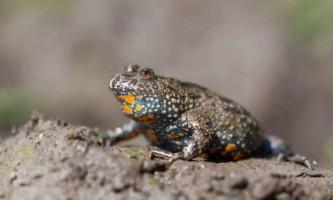 Краснобрюхая жерлянка - невелика жаба
