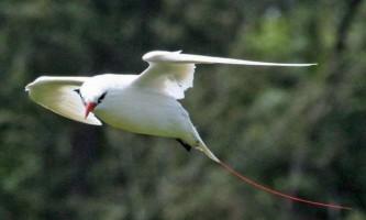 Краснохвостий фаетон - птах з цінними пір`ям