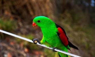 Червонокрилий папуга: фото і відео екзотичної птиці
