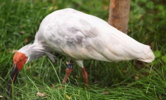 Червононогі або японський ібіс - найрідкісніша на землі птах