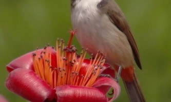 Червонощокий справжній бюльбюль - що за птиця?