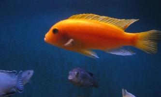 Червоні і сині «зебри» в акваріумі