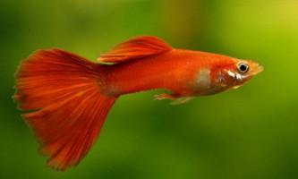 Червоні рибки для акваріума