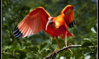 Червоний ібіс (лат. Eudocimus ruber)