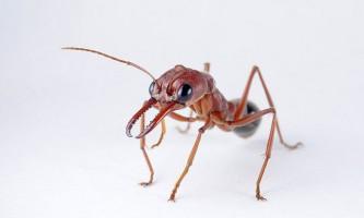 Червоний мураха-бульдог (лат. Myrmecia gulosa)