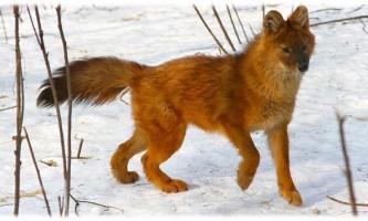 Червоний вовк - зникаючий вид тварин.
