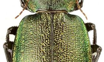 Красотел сітчастий: фото, опис жука