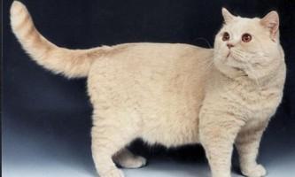 Кремовий окрас британських кішок