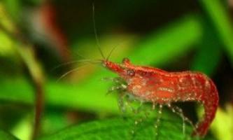 Креветки вишні: розмноження