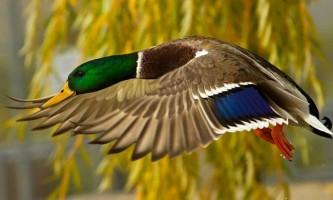 Крижень: фото, опис птиці