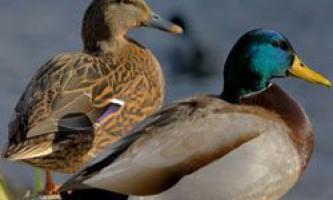 Крижень - найбільша дика качка, ареал проживання, харчування, розмноження