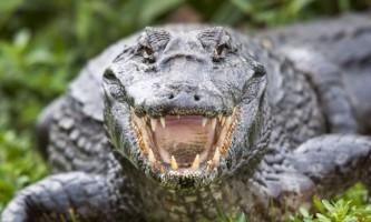 Крокодил з каналізації: в луїзіані по вулицях розгулює 3-х метрова рептилія