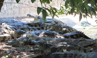Крокодили охоронятимуть індонезійських наркоторговців