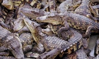 Крокодили на полюванні об`єднуються в групи, як і люди