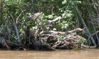 Крокодили вміють лазити по деревах