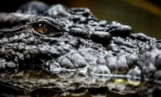 Крокодили бачать все навколо навіть коли сплять