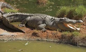 Крокодили. Все про крокодилів і їх життя в природі