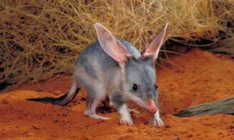 Кролячий бандикут, або звичайний білбі (лат. Macrotis lagotis)