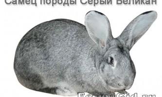 Кролик породи сірий велетень, зміст і розведення