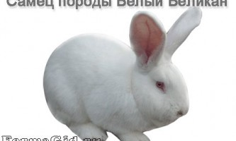 Кролики породи білий велетень: опис, зміст і розведення